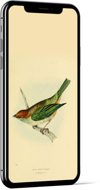 Black-backed Tanager Bird Wallpaper