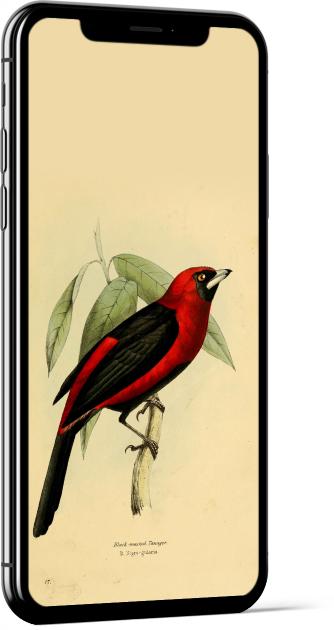 Masked Crimson Tanager Bird Wallpaper