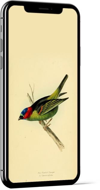 Blue-headed Tanager Bird Wallpaper