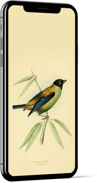 Black-headed Tanager Bird Wallpaper