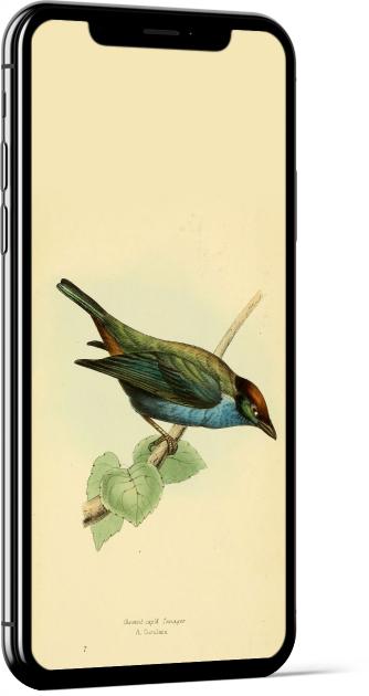 Lesser Antillean Tanager Bird Wallpaper