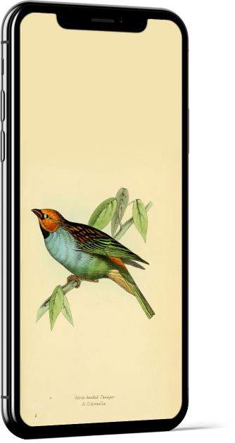 Gilt-edged Tanager Bird Wallpaper