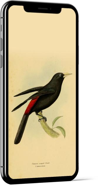 Red-rumped Cacique Bird Wallpaper