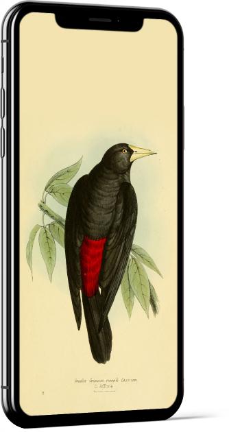 Scarlet-rumped Cacique Bird Wallpaper