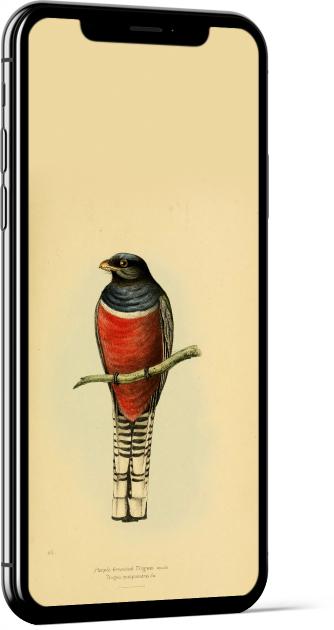 Blue-crowned Trogon Bird Wallpaper