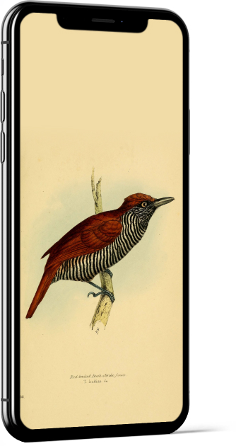 Chestnut-backed Antshrike Bird Wallpaper