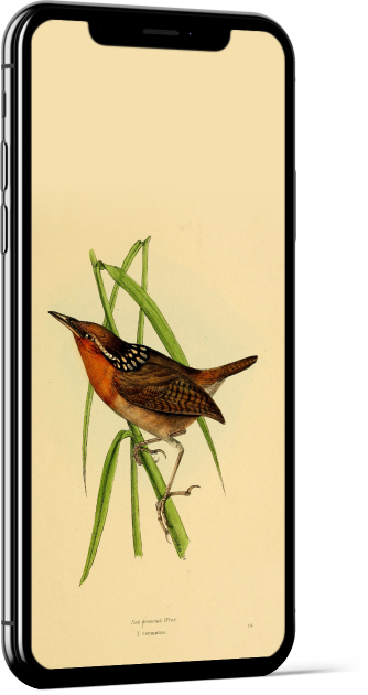 Organ Wren Bird Wallpaper