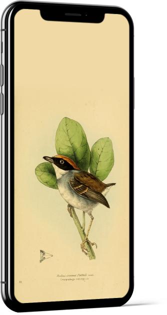 Black-cheeked Gnateater Bird Wallpaper
