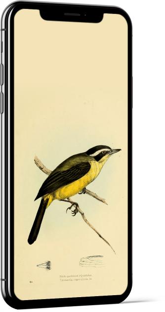 Social Flycatcher Bird Wallpaper