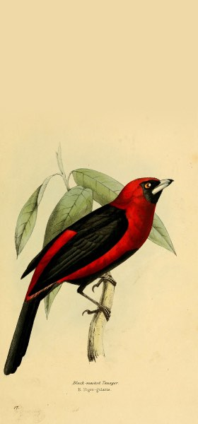 Masked Crimson Tanager Bird Wallpaper