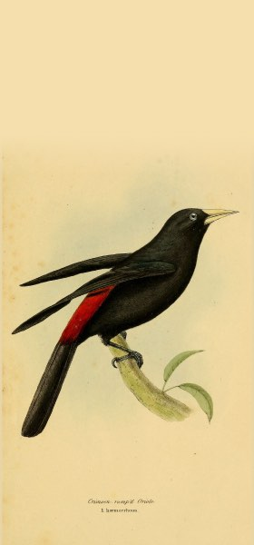 Red-rumped Cacique Bird Wallpaper