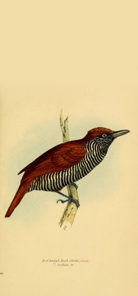 Chestnut-backed Antshrike Bird Wallpaper