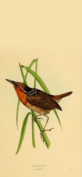 Organ Wren Bird Wallpaper