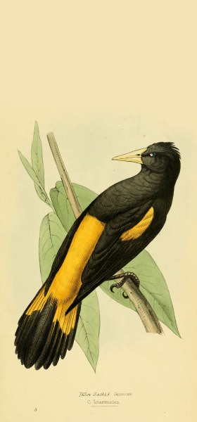 Yellow-rumped Cacique Bird Wallpaper