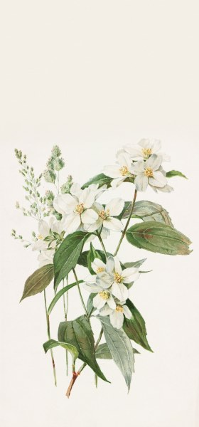 Mock Orange or Syringa by Alois Lunzer Wallpaper