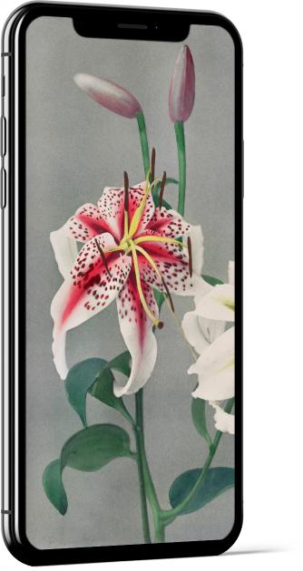 Lily White Pink II by Ogawa Kazumasa Wallpaper