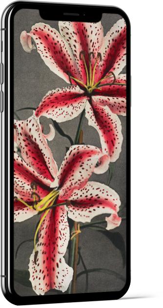 Lily White Red by Ogawa Kazumasa Wallpaper