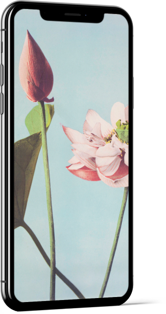 Lotus Flowers by Ogawa Kazumasa Wallpaper