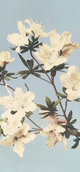 Azaleas by Ogawa Kazumasa Wallpaper