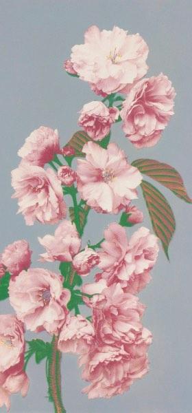 Cherry Blossom by Ogawa Kazumasa Wallpaper