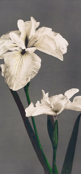 Iris Kæmpferi by Ogawa Kazumasa Wallpaper
