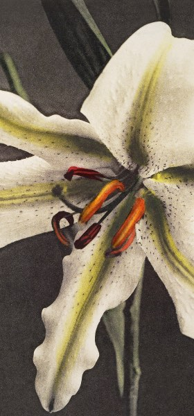 Lily White Yellow by Ogawa Kazumasa Wallpaper