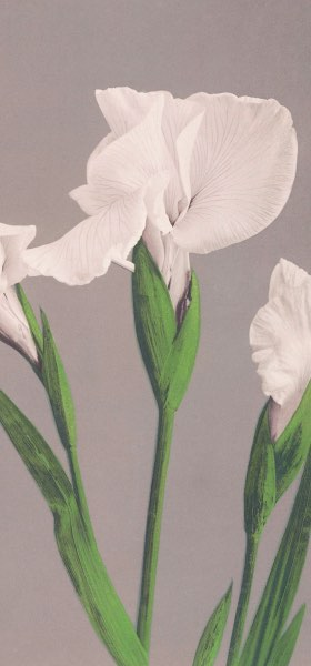 White Irises by Ogawa Kazumasa Wallpaper