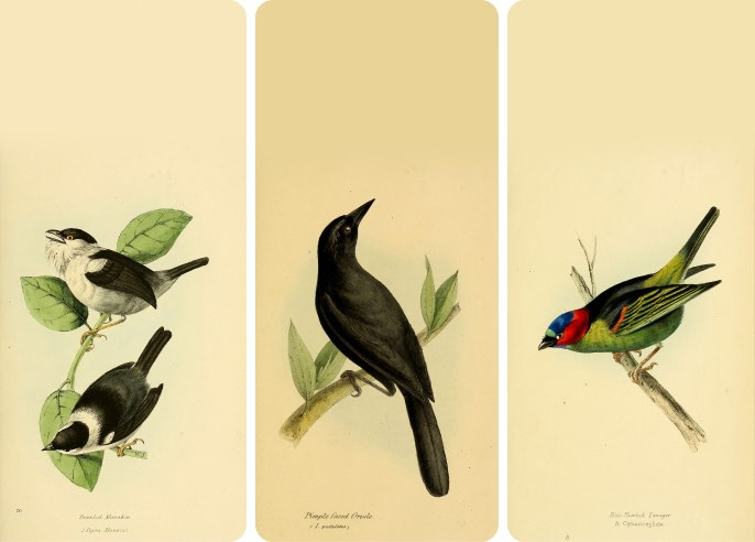 Birds of Brazil and Mexico - Wallpaper collection